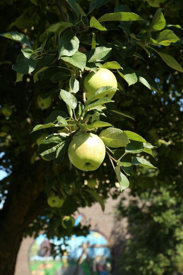 Twee appels hangend in een boom